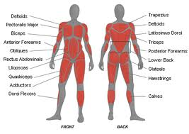 Deadlift Muscles Diagram Now that you know the muscles